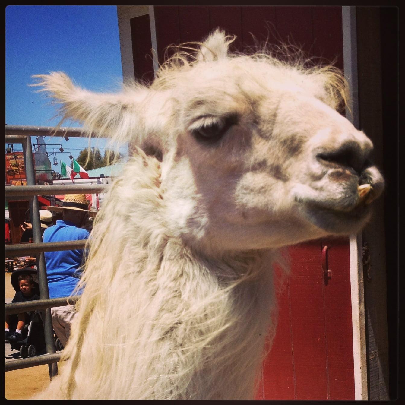 Llama. Image taken by Janine Nelson 2013.