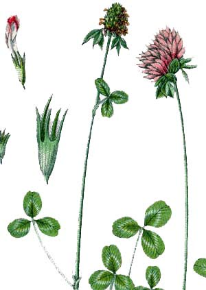 red-clover11