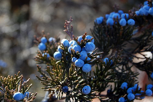 Juniper Berries in the wild. Photo credit: pchgorman / Foter / Creative Commons Attribution-NonCommercial-ShareAlike 2.0 Generic (CC BY-NC-SA 2.0)