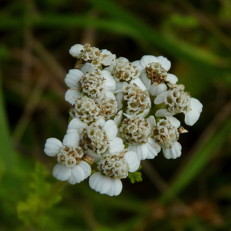 Yarrow with White Flower. Photo credit: Dendroica cerulea / Foter / Creative Commons Attribution 2.0 Generic (CC BY 2.0)