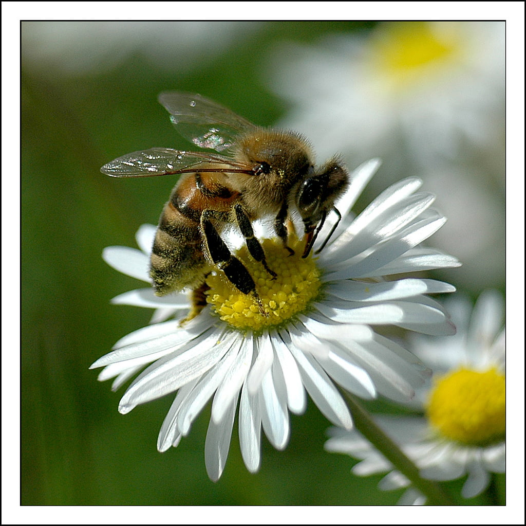 Honey Bee.  Photo credit: Rickydavid / Foter / CC BY-NC-ND