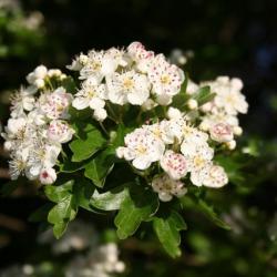 Hawthorn_blossom_-_geograph_org_uk_-_437726