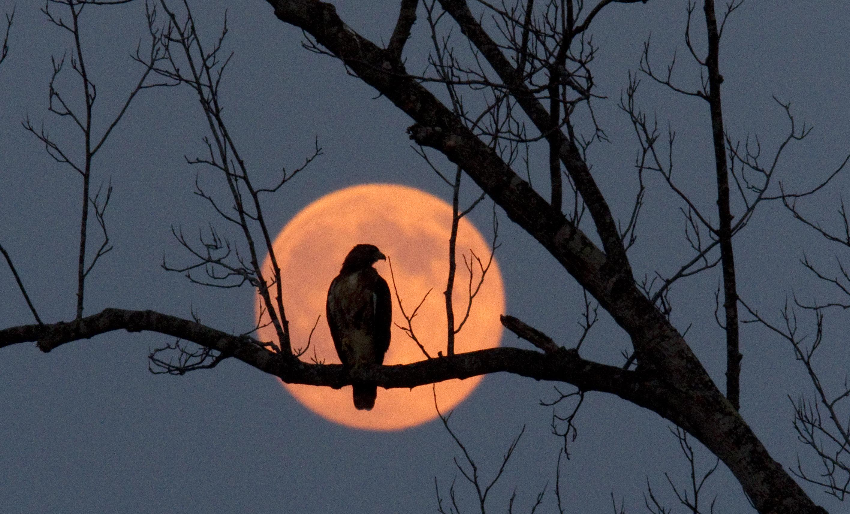 A hawk perched on a tree at the edge of Randleman Lake is framed by the harvest moon, near Branson Davis Road in Randolph County, N.C., on Wednesday, Sept. 22, 2010. (AP Photo/News & Record, Joseph Rodriguez)
